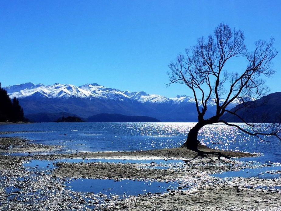 The Wanaka Tree with snow capped mountains in the background