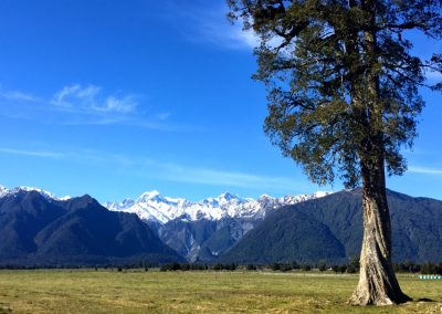 Tall tree framing the Mount Cook Mountain Range