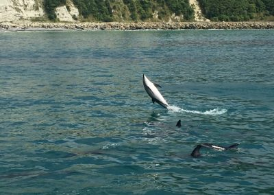 Dusky Dolphins swimming in the ocean off the coast of Kaikoura, NZ