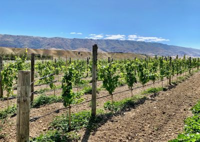Vineyard Rows at Cloudy Bay in Central Otago, New Zealand